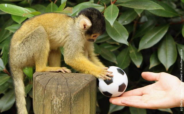 A Bolivian Squirrel monkey plays with a toy football at London Zoo