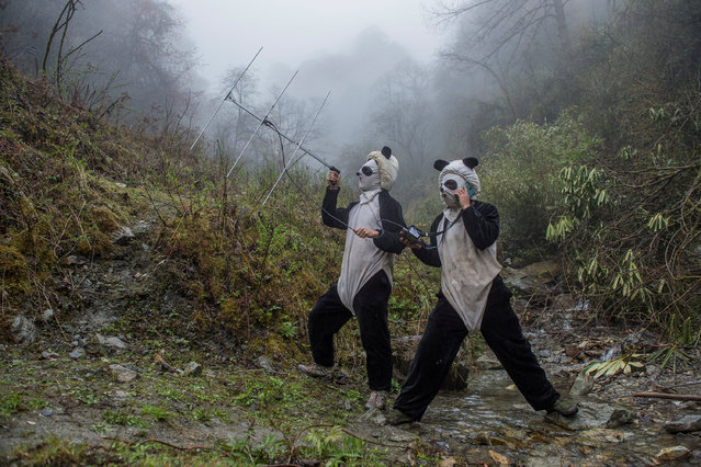 In a large forested enclosure of the Wolong Reserve, panda keepers Ma Li and Liu Xiaoqiang listen for radio signals from a collared panda training to be released to the wild. Tracking can tell them how the cub is faring in the rougher terrain up the mountain. (Photo by Ami Vitale/Reuters/National Geographic Magazine/Courtesy of World Press Photo Foundation)