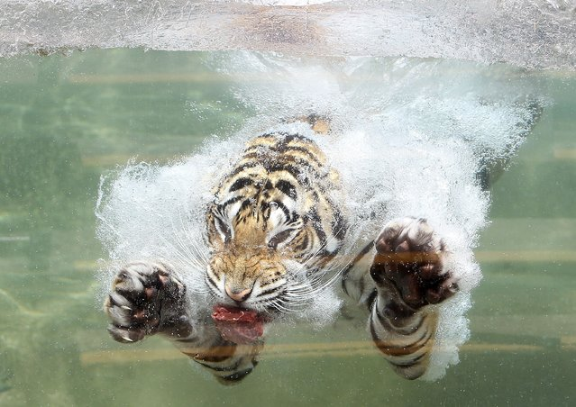 A Bengal Tiger named Akasha dives into the water after a piece of meat at Six Flags Discovery Kingdom on June 20, 2012 in Vallejo, California. (Photo by Justin Sullivan/Getty Images)