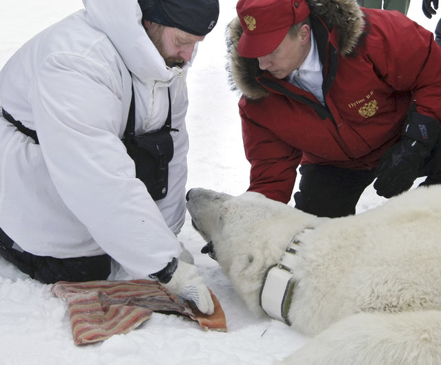 In this Thursday, April 29, 2010 file photo then Russian Prime Minister Vladimir Putin, right, fixes a radio beacon on a neck of a polar bear, which was anaesthetized, during a visit to a research institute at the Franz Josef Land archipelago in the Arctic Ocean. (Photo by Alexei Nikolsky/AP Photo/RIA Novosti/Government Press Service)