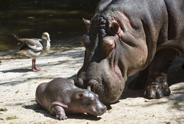 A 9-day old hippo tries to walk helped by its mother at the Chapultepec Zoo, in Mexico City, on March 5, 2014. (Photo by Ronaldo Schemidt/AFP Photo)