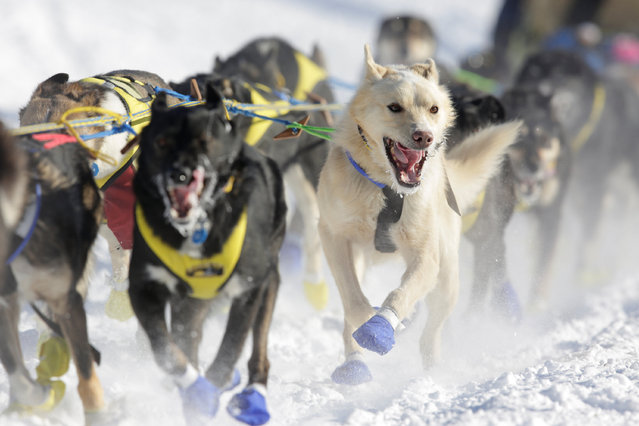 A team competes in the official restart of the Iditarod, a nearly 1,000 mile (1,610 km) sled dog race across the Alaskan wilderness, in Fairbanks, Alaska, U.S. March 6, 2017. (Photo by Nathaniel Wilder/Reuters)