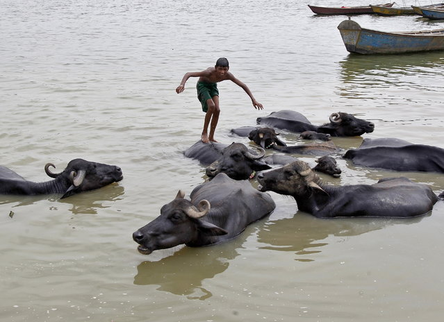A boy balances himself on the back of a buffalo before diving into the waters of the Yamuna river on a hot summer day in Allahabad, June 12, 2015. (Photo by Jitendra Prakash/Reuters)