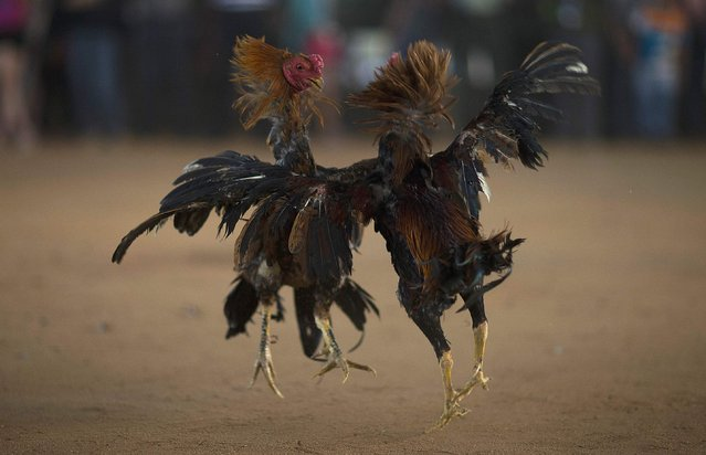 Roosters jump as they fight during a celebration for the New Year of the Dai minority in Xishuangbanna, Yunnan province April 13, 2014. Sunday marked the beginning of the 1,376th New Year, according to the ethnic Dai minority calendar. (Photo by Wong Campion/Reuters)