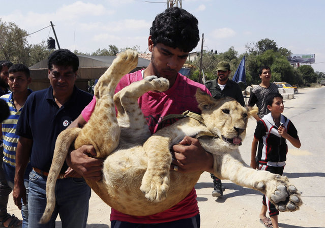 Ibrahim Al-Jamal, 17, carries Mona, the female lion cub, to see her off before the two lion cubs depart from Gaza to the Erez border crossing between Israel and the Gaza Strip, in Beit Hanoun, in the northern Gaza Strip, Friday, July 3, 2015. (Photo by Adel Hana/AP Photo)