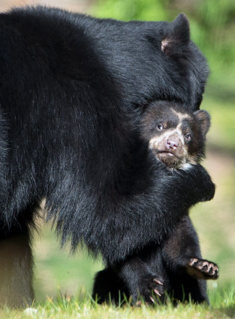 Spectacled bear mother Cashu holds her cub at the zoo in Frankfurt Main, Germany, 17 April 2014. Two bear cubs have taken their first excursion of their enclosure. (Photo by Boris Roessler/EPA)
