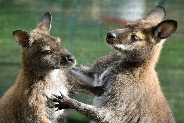 A photograph made availalble on 30 April 2016 showing two young Bennett Kangaroos together in Sababurg zoo, near Hofgeismar, Germany, 29 April 2016. (Photo by Uwe Zucchi/EPA)