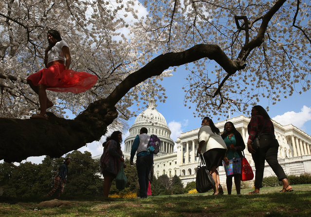 Tourists inspect the Yoshino Cherry trees that are blooming in front of the U.S. Capitol on April 9, 2014 in Washington, DC. Washingtons famed Cherry Blossom trees are on track to be in full bloom this weekend. (Photo by Mark Wilson/Getty Images)