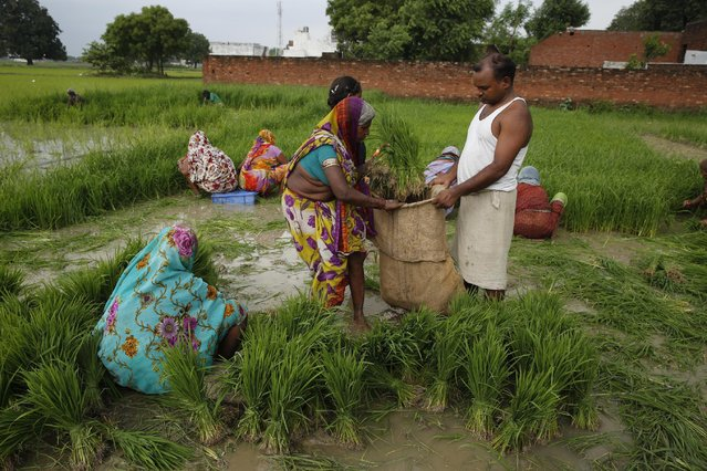 Indian farmers prepare to plant paddy saplings after monsoon rains at Sherpur village, north of Allahabad, India, Sunday, July 12, 2015. (Photo by Rajesh Kumar Singh/AP Photo)