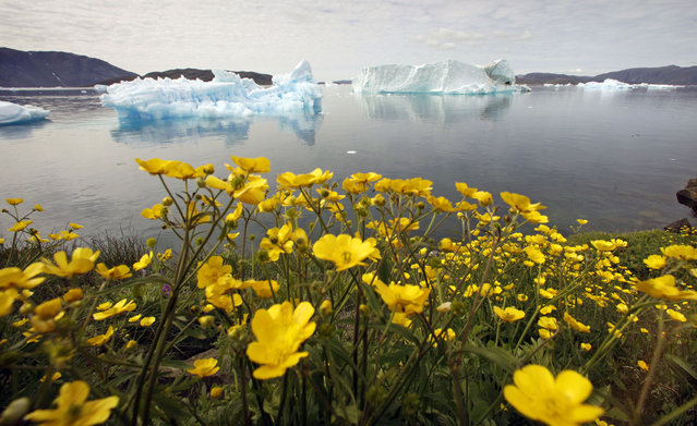 Wildflowers bloom on a hill overlooking a fjord filled with icebergs near the south Greenland town of Narsaq. (Photo by Bob Strong/Reuters)