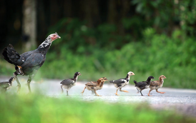 A hen and her chicks cross a street in the Malaysian village of Lui Barat November 9, 2005. (Photo by Bazuki Muhammad/Reuters)