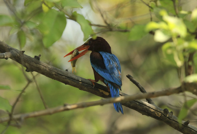 A common kingfisher sits on a tree after catching a fish in Allahabad, India, Friday, June17, 2016. The common kingfisher is a highly territorial bird that has to eat nearly 60% of its bodyweight every day. (Photo by Rajesh Kumar Singh/AP Photo)