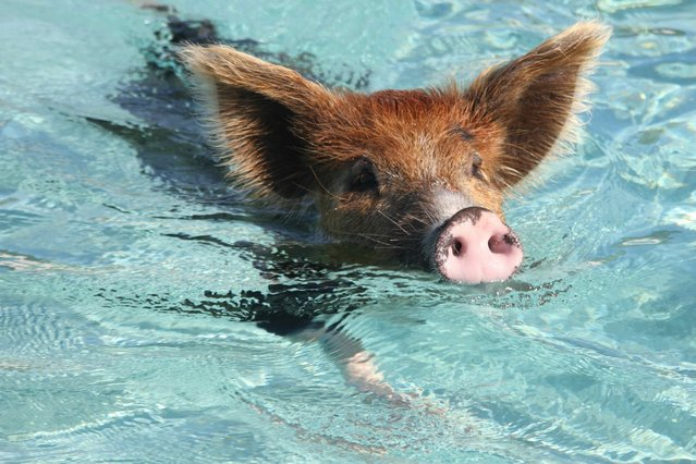 Swimming Pig off the Island of Big Major Cay