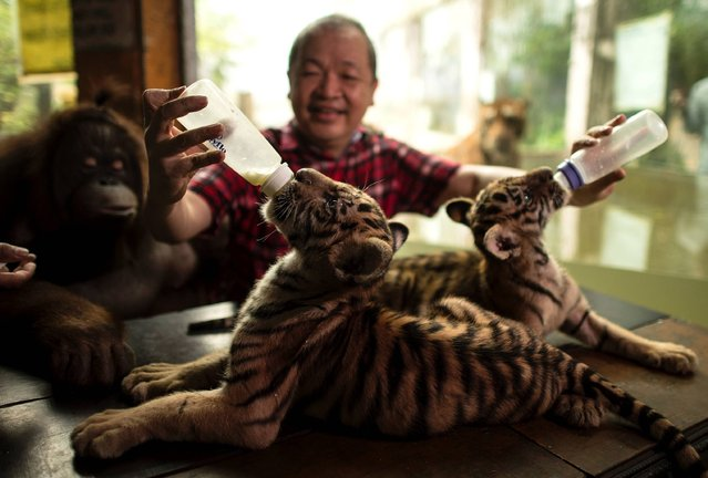 """Zoo owner Manny Tangco feeds two tiger cubs named """"Tiger Duterte"""" and """"Tiger Leni"""", after Philippine President Rodrigo Duterte and Vice President Leni Robredo, at the Malabon Zoo in Manila on July 14, 2016. Tangco said he named the two tiger cubs hoping the Philippine ecomony will become a """"Tiger Economy"""". (Photo by Noel Celis/AFP Photo)"""