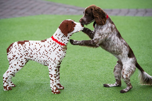 """Sprocker spaniel Sully with his lego double  UK's """"best pet"""" gets Lego double at Legoland Windsor Resort, Britain on August 27, 2015. A Sprocker Spaniel was today officially declared the UK's best pet when he came nose to nose with his perfect Lego double at the Legoland Windsor Resort. (Photo by Mikael Buck/REX Shutterstock)"""