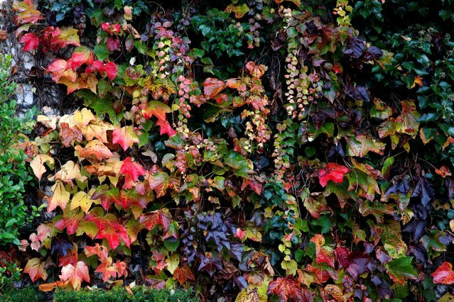 A wall with autumn leaves is pictured in Giverny, France, November 4, 2016. (Photo by Jacky Naegelen/Reuters)