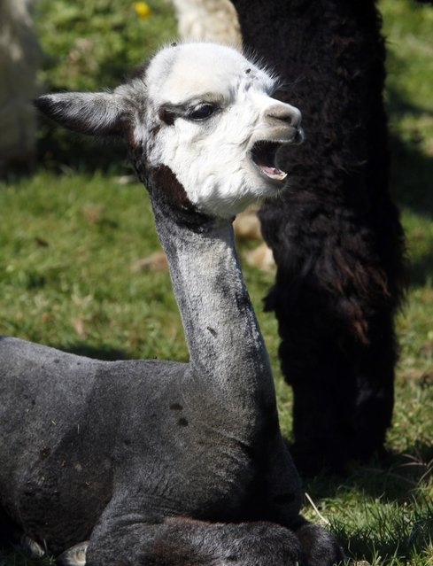 A young alpaca yawns while taking a rest in a pasture on September 12, 2012 in Albany, Vermont. (Photo by Toby Talbot/AP Photo)
