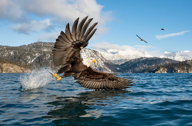 A bald eagle takes off with its catch, Alaska, US. (Photo by Alan Murphy/Media Drum Images)
