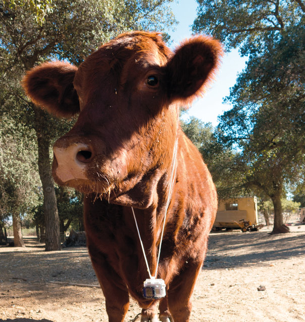 PetCam showcases photos taken from animals across the globe. This is Fiona, a red angus cow from San Diego. (Photo by Chris Keeney/Princeton Architectural Press)