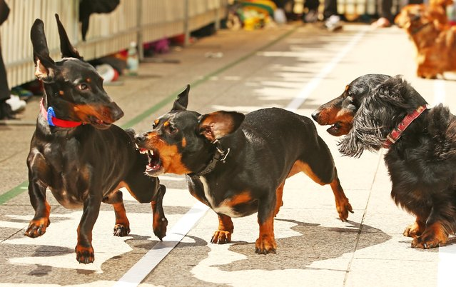 A mini dachshund chases a competitor as he competes in the Hophaus Southgate Inaugural Dachshund Running of the Wieners Race on September 19, 2015 in Melbourne, Australia. (Photo by Scott Barbour/Getty Images)