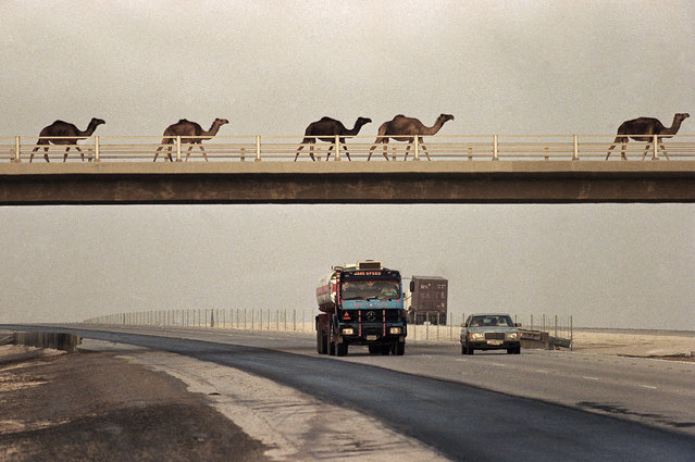 Four camels amble across an overpass spanning a desert expressway as vehicles pass underneath in eastern Saudi Arabia on Friday, September 28, 1990. Such camel crossings are similar to cattle crossings in the United States. (Photo by J. Scott Applewhite/AP Photo)