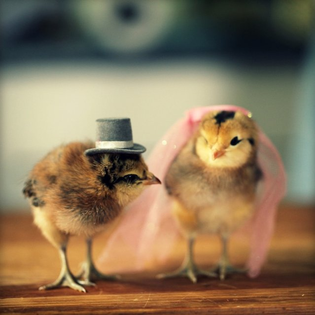 Adorable Baby Chicks Wearing Funny Little Hats