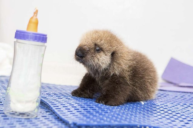 A five-week-old orphaned Southern Sea Otter pup rests on a rubber mat after arriving at the Shedd Aquarium's Abbott Oceanarium in Chicago, Illinois October 28, 2014 in this handout photo provided to Reuters on November 5, 2014. The stranded pup was found on September 30 on Coastways Beach in California and was rescued the next day to be brought back to health at the Monterey Bay Aquarium. (Photo by Brenna Hernandez/Reuters/Shedd Aquarium)