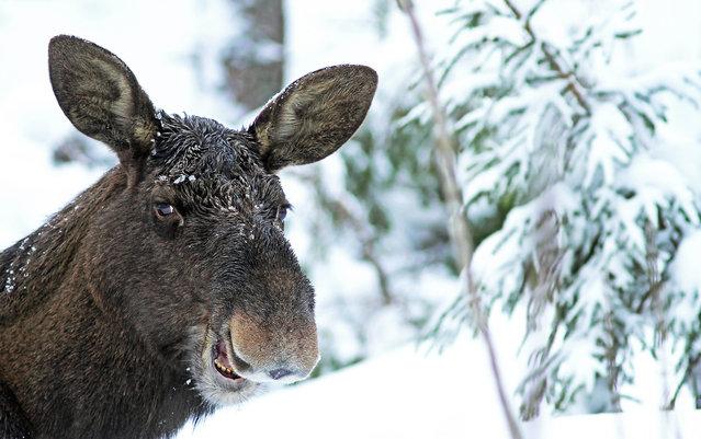 'Laughing moose'. (Photo by Sami Rahkonen/Comedy Wildlife Photography Awards/Mercury Press)