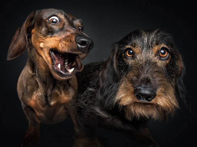 Dachshunds. (Photo by Vieler Photography/Caters News Agency)