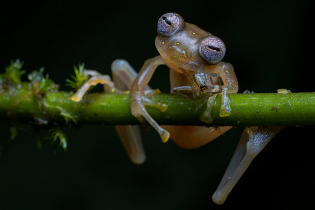 Winner – Behaviour, Amphibians and Reptiles: Life in the balance by Jaime Culebras, Spain. A Manduriacu glass frog snacks on a spider in the foothills of the Andes, northwestern Ecuador. After a four hour trek in the rain, Culebras was thrilled to spot one small frog clinging to a branch, its eyes like shimmering mosaics. This is the first picture of this newly discovered species feeding. (Photo by Jaime Culebras/Wildlife Photographer of the Year 2020)