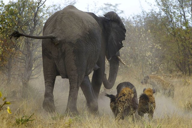 The hyenas dart and nip at the baby calf during the chase – mauling the baby quite badly – especially its hindquarters. (Photo by Jayesh Mehta/Caters News)