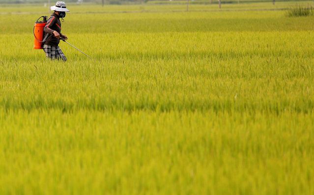 A farmer works on a rice paddy field in Quang Ngai province, Vietnam March 14, 2018. (Photo by Reuters/Kham)