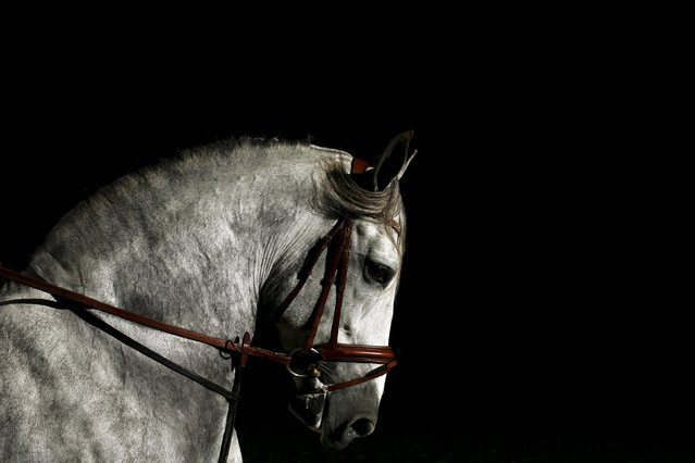 A purebred Spanish horse is pictured during the Sicab International Pre Horse Fair which is dedicated in full and exclusively to the purebred Spanish horse in the Andalusian capital of Seville, southern Spain November 17, 2015. (Photo by Marcelo del Pozo/Reuters)