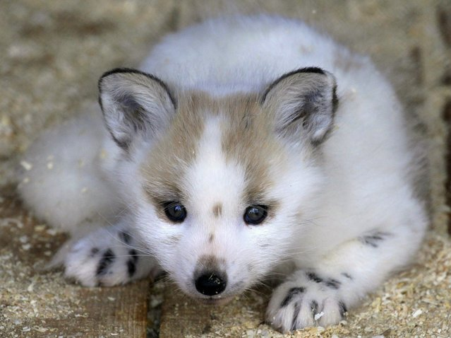 A two-month-old Snow Fox cub lies inside a cage at the Royev Ruchey Zoo on the surburbs of Russia's Siberian city of Krasnoyarsk, May 15, 2013. (Photo by Ilya Naymushin/Reuters)