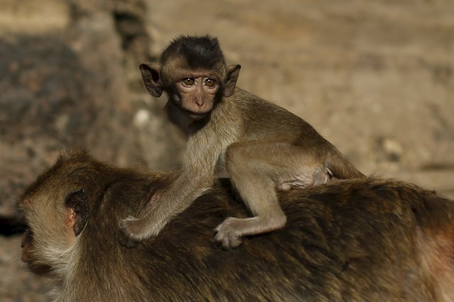 A juvenile long-tailed macaque clings to the back of an adult at the Pra Prang Sam Yot temple before the annual Monkey Buffet Festival in Lopburi, north of Bangkok November 29, 2015. (Photo by Jorge Silva/Reuters)