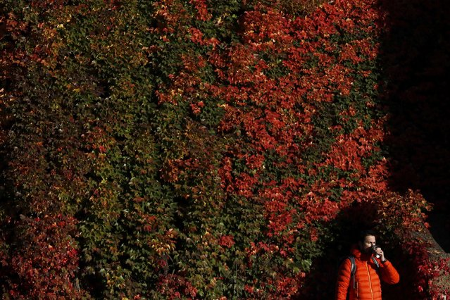 A man walks past a wall with autumn leaves in central London, Britain November 2, 2016. (Photo by Stefan Wermuth/Reuters)