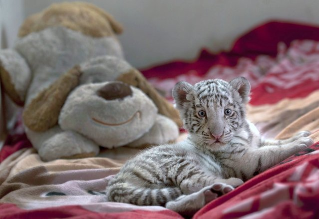 A six-week old female Bengal white tiger rests near a stuffed animal at the Huachipa Zoo on the outskirts of Lima, Peru, Monday, Aug. 5, 2013. The unnamed tiger was separated from her mother, Clarita, because the mother was not lactating properly, and will join her mother in about six month, according to zoo veterinarian Catalina Hermoza. (Photo by Martin Mejia/AP Photo)