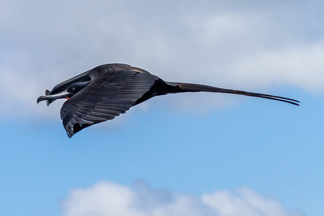 """""""Magnificent Frigatebird. Shot parallel to me while I was on the sun deck"""". (Photo by Carl Fredrickson)"""