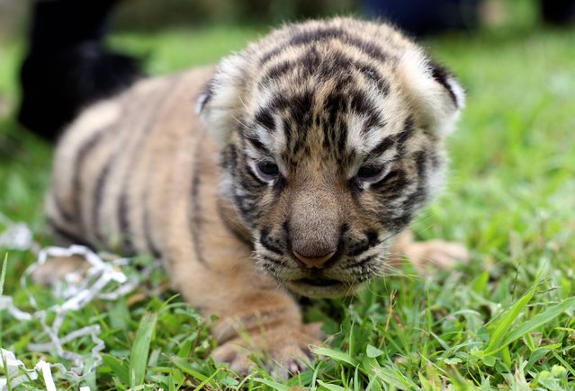 A tiger cub sits at a Bali zoo in Gianyar, Bali, Indonesia, Wednesday, September 4, 2013. The tiger was born on August 22. (Photo by Firdia Lisnawati/AP Photo)