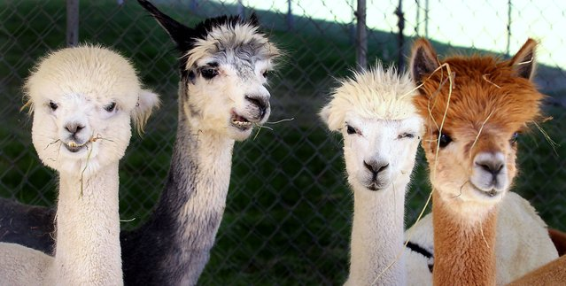 Four alpacas eat during the second day of the Kern County Fair on Thursday, September 19, 2013, in Bakersfield, Calif. The fair runs from September 18 through September 29. (Photo by Casey Christie/AP Photo/The Bakersfield Californian)