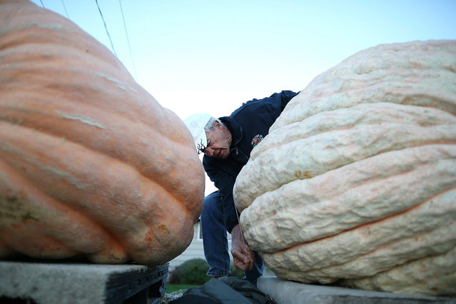 A contest official measures a giant pumpkin during the 40th Annual Safeway World Championship Pumpkin Weigh-Off on October 14, 2013 in Half Moon Bay, California. Gary Miller of Napa, California won the 40th Annual Safeway World Championship Pumpkin Weigh-Offgigantic pumpkin with a gigantic pumpkin that weighed in at 1,985 pounds. Miller took home a cash prize of $11,910, or $6.00 a pound. (Photo by Justin Sullivan/AFP Photo)
