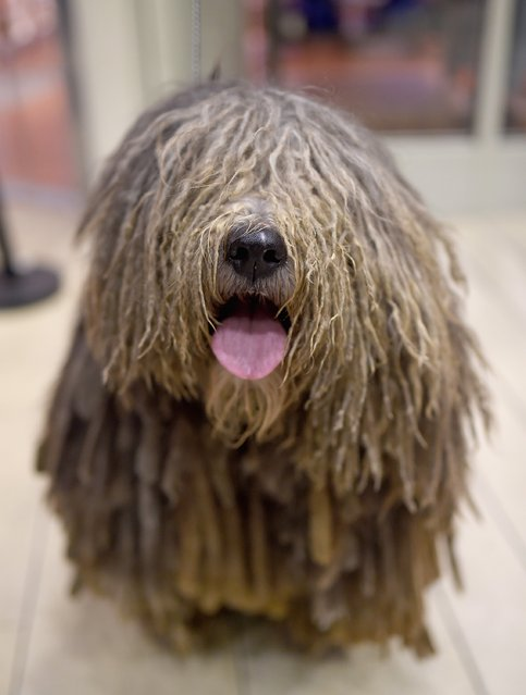 The Bergamsco breed  debuts at 140th Annual Westminster Kennel Club Dog Show – Meet The New Breeds at Madison Square Garden on January 21, 2016 in New York City. (Photo by Jamie McCarthy/Getty Images)