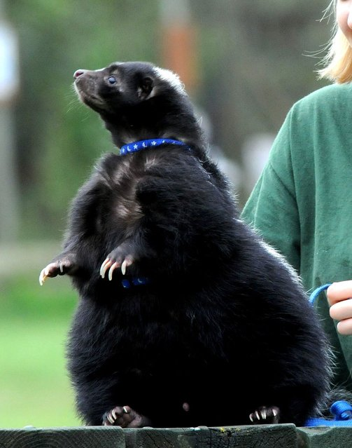 Pet skunk Mr Bumble has been put on a crash diet of fruit and vegetables after ballooning to double his size, weighing more than 2 stone – by gorging on two bacon butties a day. (Photo by South West News Service)