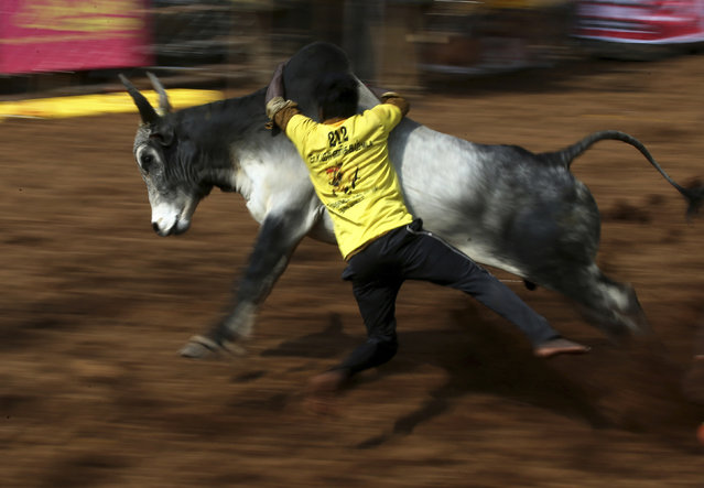 In this Wednesday, January 16, 2019, photo, an Indian tamer tries to control a bull during a traditional bull-taming festival called Jallikattu, in the village of Palamedu, near Madurai, Tamil Nadu state, India. (Photo by Aijaz Rahi/AP Photo)