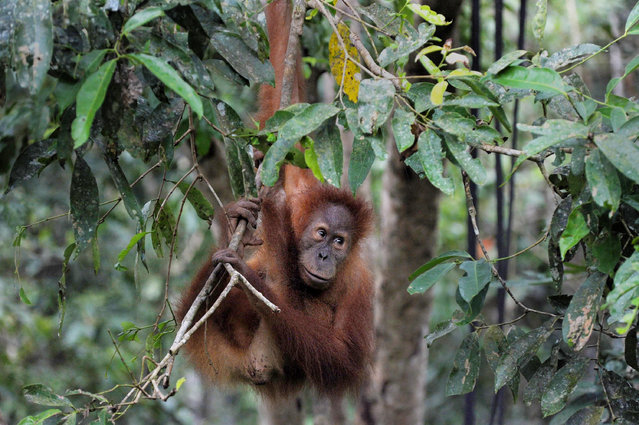 """This picture taken in Jantho, Aceh province on February 15, 2016 shows an orangutan swinging on a tree in Jantho Conservation area. Sumatran Orangutan Conservation Programme (SOCP) has released two more orangutans into Jantho conservation area on February 15, to save orangutan, a species currently listed as """"Critically Endangered"""" by the IUCN (International Union for the Conservation of Nature and Natural Resources) with only about 6,000 Sumatran orangutans remaining. (Photo by Chaideer Mahyuddin/AFP Photo)"""
