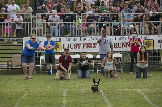 Ashley Nolan, left, cheers on her dog Hank Williams as he finishes first in his heat to advance to the quarterfinals.  The 18th Annual Buda County Fair and Weiner Dog Races was held at city park in Buda Sunday April 26, 2015 sponsored by the Lions Club. (Photo by Ralph Barrera/Austin American-Statesman)