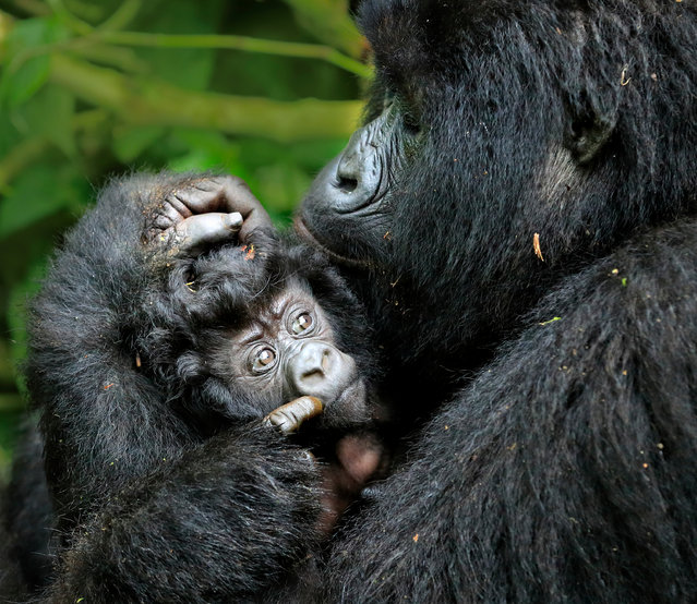 A baby gorilla and his mother, photographed in Virunga national park in Virunga, Rwanda on March 16, 2016. (Photo by Andy Rouse/Barcroft Media)