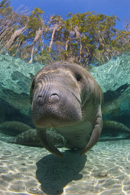 Alex travelled to the west coast of Florida, close to Crystal River city, in February, where the animals congregate in the winter. Here, several freshwater springs attract the manatees when their normal ocean habitat becomes too cold. (Photo by Alexander Mustard/Barcroft Media)
