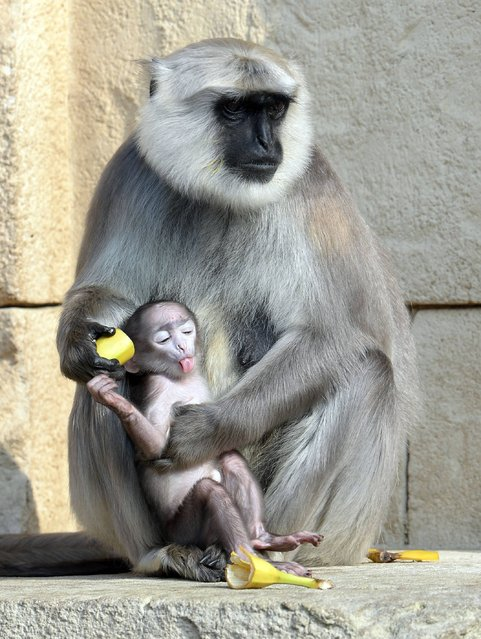 A gray langur (Semnopithecus) baby lies in the arm of mother Sariska in the Zoo in Hannover, northern Germany, Thursday, March 6, 2014. The monkey was born in the zoo Feb. 15, 2014 but its gender is yet unknown. (Photo by Peter Steffen/AP Photo/DPA)