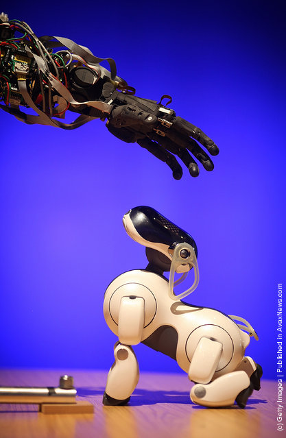 BERTI the robot interacts with a Sony AIBO robot dog